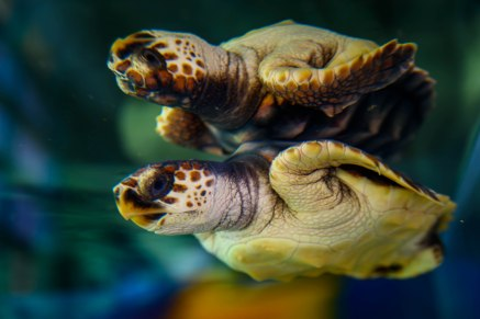4-14-18_ABQ Aquarium_Loggerhead_02